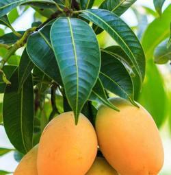 Masło mango