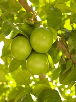 West Indian Limes